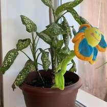 Комнатное растение Диффенбахия, в Новосибирске