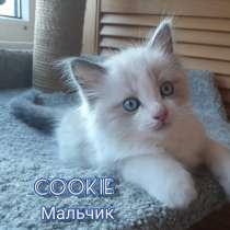 Рэгдолл котята, в г.Минск