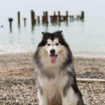 Аренда собаки для фотосессий, в Севастополе
