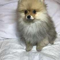 Померанский шпиц. Мальчик (Pomeranian UROS), в г.Хельсинки