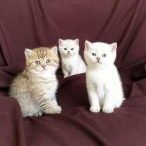 Чистопородные шотландские котята. Редкий окрас, в Краснодаре