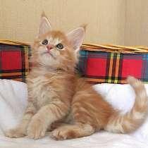 Котёнок Мейн Кун, в Курске