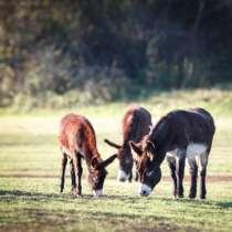 Предлагаем к продаже осликов, в Липецке