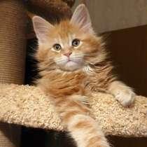 Предлагаю к продаже котят Мэйн кун, в г.Bremen