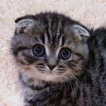 Шотландские котята, девочки, в г.Минск