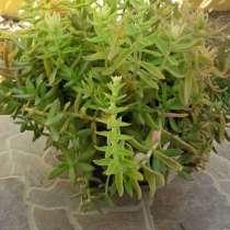 Растение, в г.Никосия