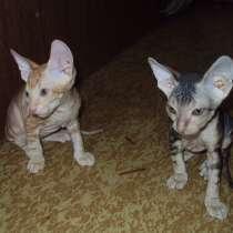 Котята донского сфинкса, в Железногорске