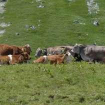 Коровы бычки телята Сыктывкар, в Сыктывкаре
