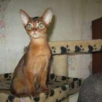 Абиссинские котята!, в Чебоксарах