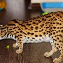Продам котенка АЛК (лат. Felis bengalensis), в Уфе