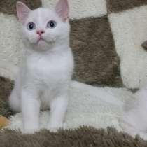 Шотландские котята от питомника Artfold, в г.Астана