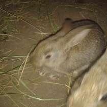 Кролики фландр, в г.Макеевка