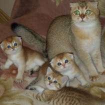 Золотые шотландские котята, в Ростове-на-Дону
