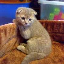 Чистокровный шотландский вислоухий котенок 2 месяца, в Волхове