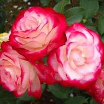 Продаю саженцы роз, в г.Бишкек