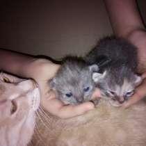 Котята Русской Голубой кошки, в Уфе