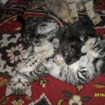 Продаются британские котята, в Пущино