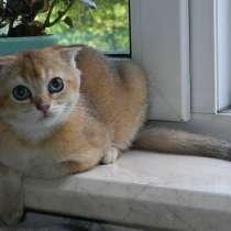 Шотландские котята редкого окраса, в Жуковском