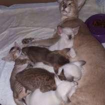 Ориентальные котята, в Дзержинске