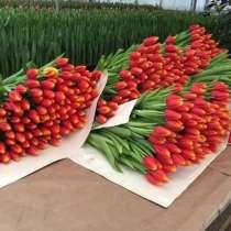 Тюльпаны оптом на 8 Марта из Тепличного комплекса, в Москве
