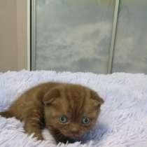 Продаю шотландских котят, в г.Брест
