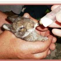Кролик фландр 12 мес, в Санкт-Петербурге
