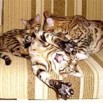 Ищу Бенгальского котёнка, в г.Франкфурт-на-Майне