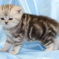 Шотландские котята: страйты и фолды, в Москве