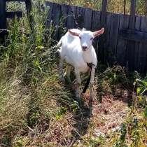 Продаём козлят 3-х месячных, порода ЗААНЕНСКИЕ, в Каменск-Шахтинском
