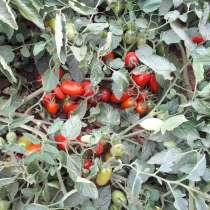 Продам томат коктельный, в Астрахани