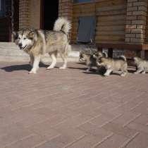 Аляскийнский маламут щенки, в Перми