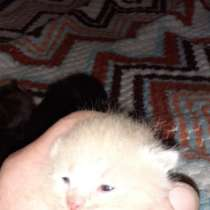 Котята от породистой кошки и щенята от хаски смешны, в Раменское