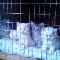 Персидские котята, в г.Тбилиси