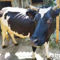 Корова, в г.Кременная