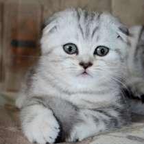 Шотландские котята, британцы, хайленды, в Москве