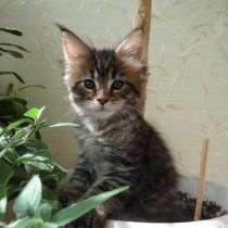 Котята Мейн-кун, в Пятигорске