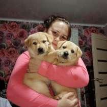 Продам щенков Лабрадора-ритривера, в Белгороде