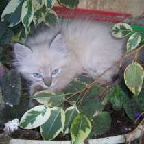 Невские маскарадные котята, в Севастополе