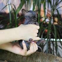 Эксклюзивный мальчик бамбино редчайшей породы в мире, кошка, в г.Украинка