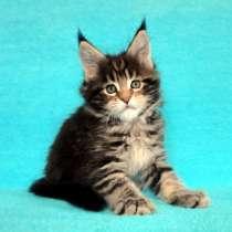 Котики мейн-кун из питомника, в Владимире