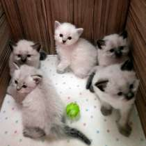 Шотландские котята, в Краснодаре