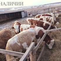 Коровы и быки из России, в Сибае