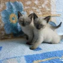 Тайские котятя, в Ярославле