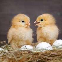 Продаю бройлерное яйцо + цыплята КОБ - 500, рос - 308 и тд, в г.Бишкек