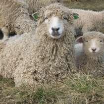 Племенные овцы Линкольн (Скот из Европы класса Элита Рекорд), в г.Ереван