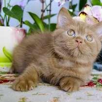 Британские котик от чемпионов, в Твери