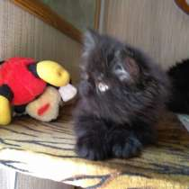 Котик перс, в Санкт-Петербурге