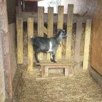 Продам окотную (беременную) козу, в Кинешме
