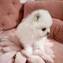 Белые щенки шпица красавцы -мальчики, в Калининграде