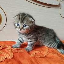 Шотландских породистых котят, в г.Орша